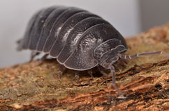 Woodlouse Armadillidium depressum. Wild woodlouse Armadillidium depressum in nature Stock Photos