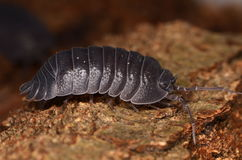 Woodlouse Armadillidium depressum. Wild woodlouse Armadillidium depressum in nature Royalty Free Stock Photos