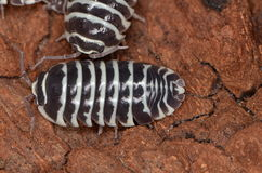Woodlouse Armadillidium maculatum. In nature Stock Photography