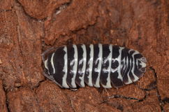 Woodlouse Armadillidium maculatum. In nature Royalty Free Stock Photos