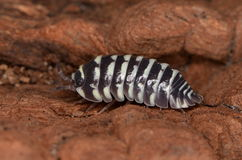 Woodlouse Armadillidium maculatum Stock Images