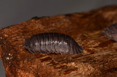 Woodlouse Armadillidium nasatum. In nature Royalty Free Stock Image