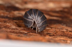 Woodlouse Stock Images
