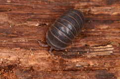 Woodlouse Royalty Free Stock Photo
