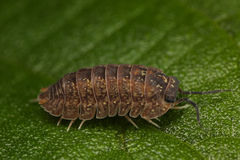 Woodlouse Royalty Free Stock Images