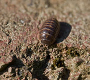 Woodlouse comum do comprimido Fotografia de Stock
