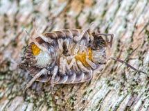 Woodlouse macro eggs. Woodlouse macro showing abdomen, legs and eggs Royalty Free Stock Photography