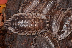 Woodlouse Oniscus asellus. In nature Stock Photos