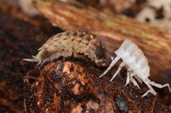 Woodlouse Porcellio spinicornis Stock Photography