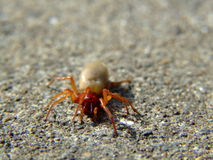 The Woodlouse Spider (Dysdera crocata). Is a species of spider that preys exclusively upon woodlice Stock Photos