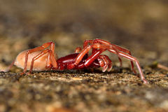 Woodlouse spider (Dysdera crocata) on stone Stock Photo