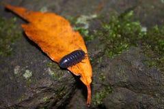 Woodlouse walking across the leaf Royalty Free Stock Image