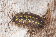 Woodlouse on wood Royalty Free Stock Photos
