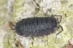 Woodlouse on wood, extreme close-up Stock Images
