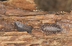 Woodlouse on wood, extreme close-up Royalty Free Stock Photos