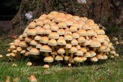 Woodlover à ailettes fumeux, champignons de couche Photos libres de droits