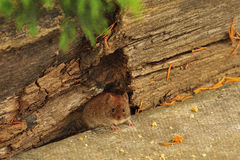Woodmouse (Apodemus sylvaticus). A tiny woodmouse, peeking out from under a rotten log, searching for food, they are always hesitant Stock Images