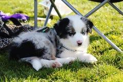 Woodo. Beautifull puppy enjoying the sun Stock Photography