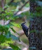 Eurasian three-toed woodpecke royalty free stock photography