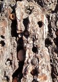 Woodpecker& x27 βελανίδια του s που αποθηκεύονται στο φλοιό πεύκων στοκ εικόνες