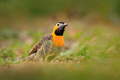 Woodpecker Бразилии Фликер Campo, campestris Colaptes, экзотический woodpecker в среду обитания природы, птица сидя в траве, желт стоковые фото