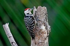 Woodpecker веснушки-breasted Стоковое Фото