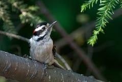 woodpecker ветви пуховый ый Стоковая Фотография