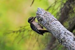 woodpecker взрослой женщины волосатый Стоковое Изображение RF