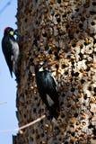Woodpecker жолудя Стоковые Фото