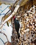 Woodpecker жолудя Стоковые Изображения