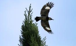 Woodpecker жолудя стоковые изображения rf