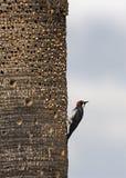 Woodpecker жолудя Стоковая Фотография