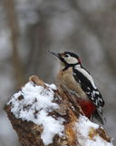 woodpecker журнала тухлый снежный Стоковое Изображение