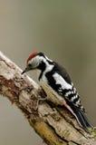 Woodpecker запятнанный серединой сидя на ветви Стоковые Фото
