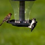 woodpecker зяблика Стоковые Изображения RF