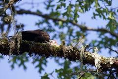 Woodpecker Калифорнии ранчо Shiloh региональный стоковое фото rf