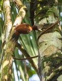 Woodpecker каштана Стоковые Изображения
