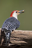 Woodpecker Красно-Bellied мужчиной (carolinus Malenerpes) Стоковые Фотографии RF