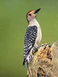 Woodpecker Красно-Bellied мужчиной (carolinus Malenerpes) Стоковое фото RF