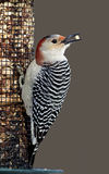 Woodpecker красн-bellied женщиной (carolinus Melanerpes) Стоковое Фото