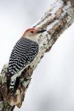 Woodpecker Красн-bellied мужчиной (carolinus Melanerpes) Стоковое фото RF