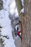 Woodpecker - майор Dendrocopos Стоковые Изображения RF