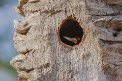 Woodpecker Малинов-Crested мужчиной внутри гнезда Стоковое фото RF