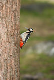 Woodpecker на вале Стоковое фото RF