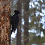 Woodpecker на вале Стоковые Изображения