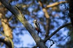 Woodpecker на ветви Стоковые Фото