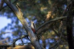 Woodpecker на ветви Стоковое Изображение