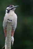 Woodpecker на окуне Стоковая Фотография