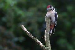 Woodpecker на окуне Стоковое Изображение
