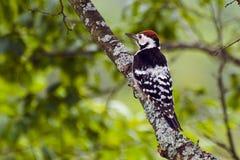 Woodpecker на стволе дерева Стоковые Изображения